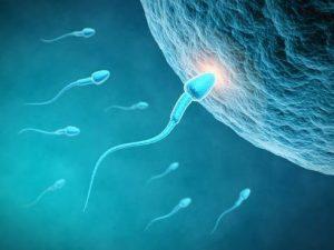 La producción de espermatozoides esta estimulada por la cafeína