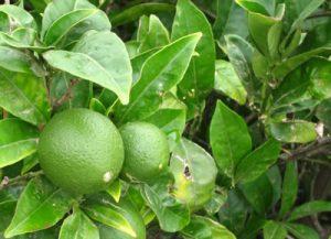 Agrio el futuro para el limón de no combatirse las plagas