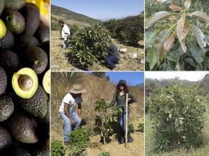 Despunta Oaxaca en producción agrícola, pecuaria, pesquera y acuícola