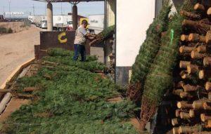 Procuraduría ambiental regresa a EU más de 14 mil árboles de Navidad con plagas