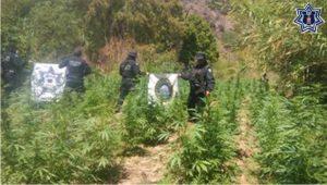 Destruye SSPO Plantío de marihuana en Valles Centrales