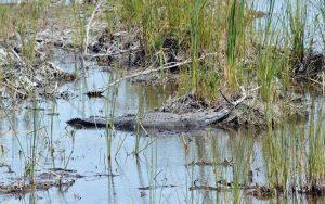 Activa Cepco búsqueda de niño atacado por un cocodrilo