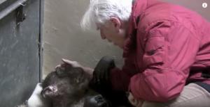 Emotivo encuentro: Una chimpancé a punto de morir reconoce a su cuidador (VIDEO)