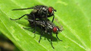 A las moscas les encanta eyacular y emborracharse