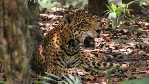 Piden protección del jaguar en proyecto de Tren Maya